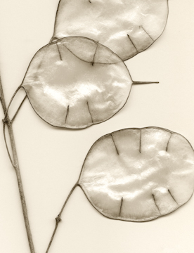 Honesty seed pods