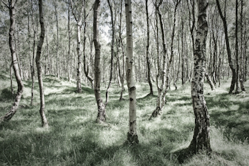 Gnarled Silver Birch trees at Lawrencefield.