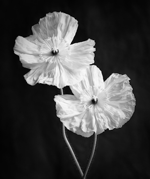 Monochrome image of 2 poppies