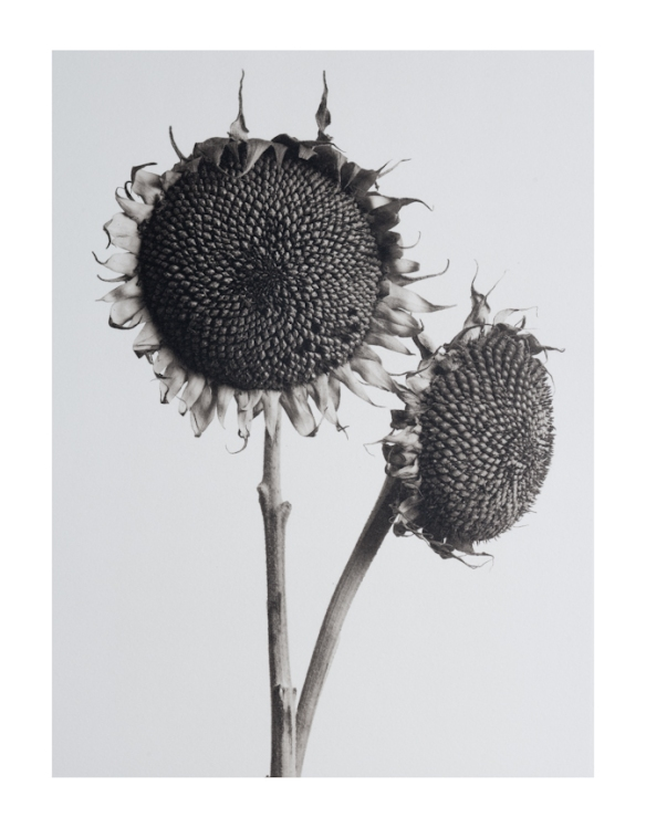 dried sunflower heaads