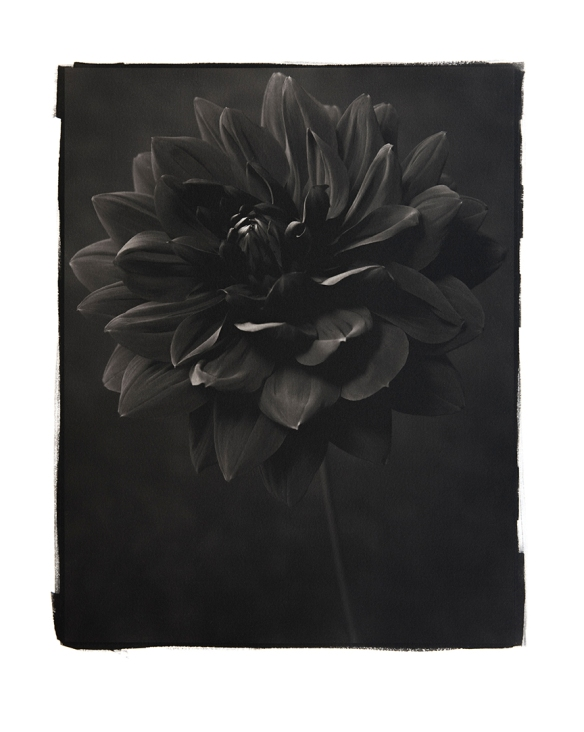 Dahlia 1. A  Platinum/Palladium Print by Richard Freestone