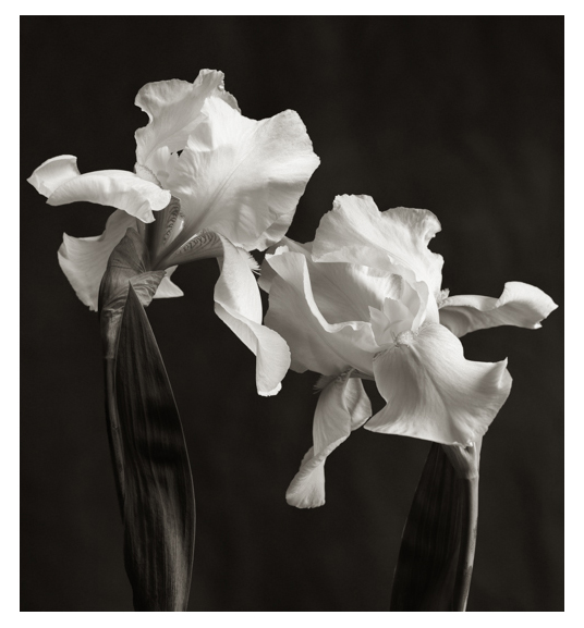 Archival Pigment print Giclee by Richard Freestone of two Irises