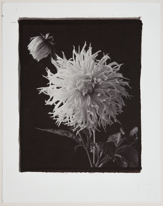 Dahlia 3. A Gold toned Salt Print