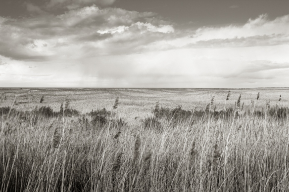 Reed Beds near Thornham